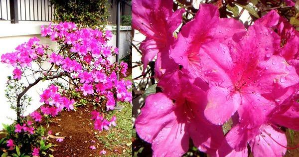 add0e948 Azaleia uma linda flor - Arteblog