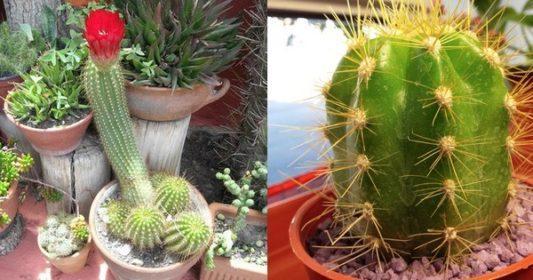 Fotos de cactus variedades arteblog for Cactus variedades