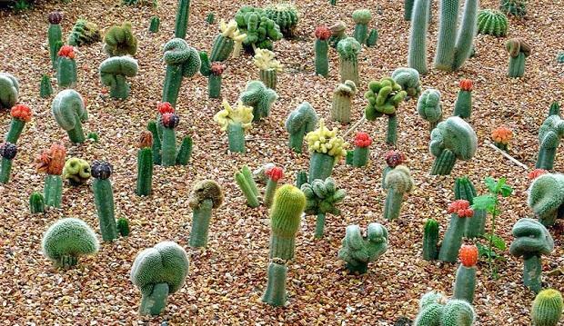 Fotos de cactus variedades arteblog for Variedades de cactus