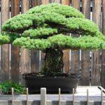 bonsai (2)