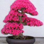 bonsai-5096