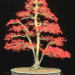 fengshui-bonsai