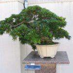 japanese-bonsai