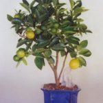 orange-bonsai-tree