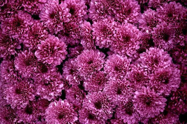 Cuidados para se cultivar cris ntemos arteblog - Como cultivar crisantemos ...