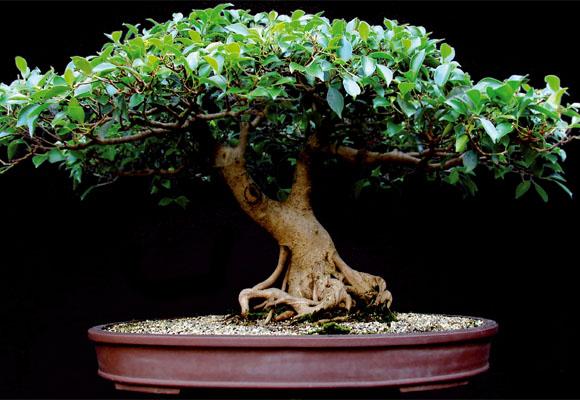 Como cultivar bonsais arteblog - Como cultivar bonsais ...
