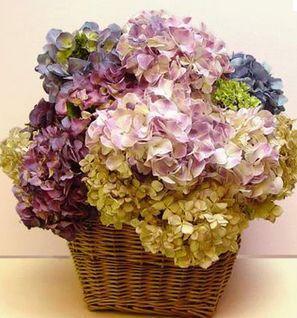 flores hortências secas