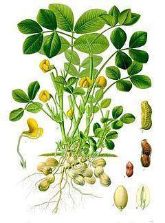 amendoin planta