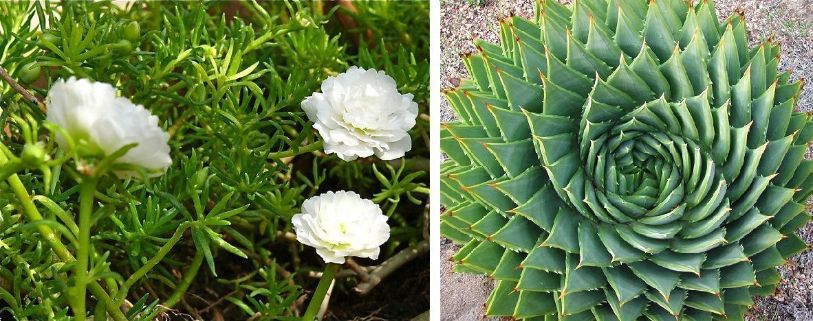 PlantasSuculentas