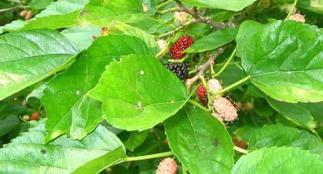 Blackberry miura2