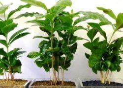 cafeeiro-planta
